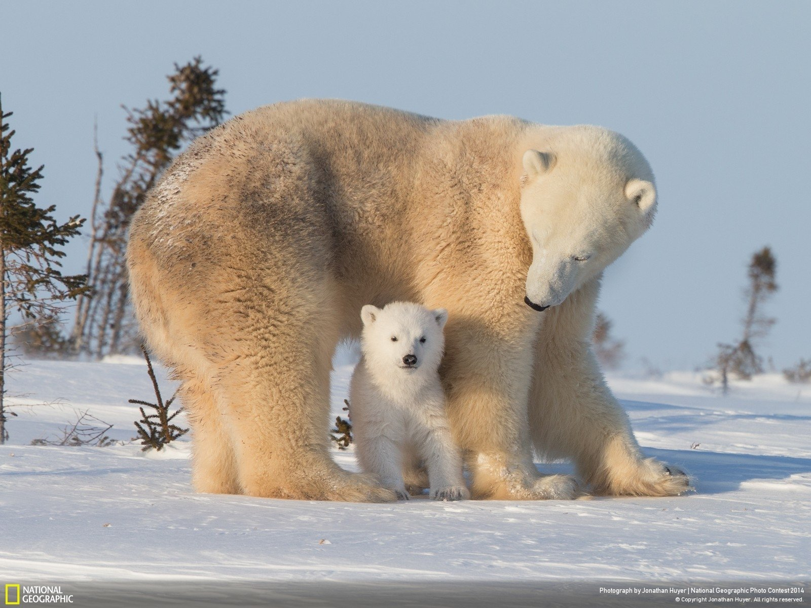 Wallpaper Winter Bear Polar