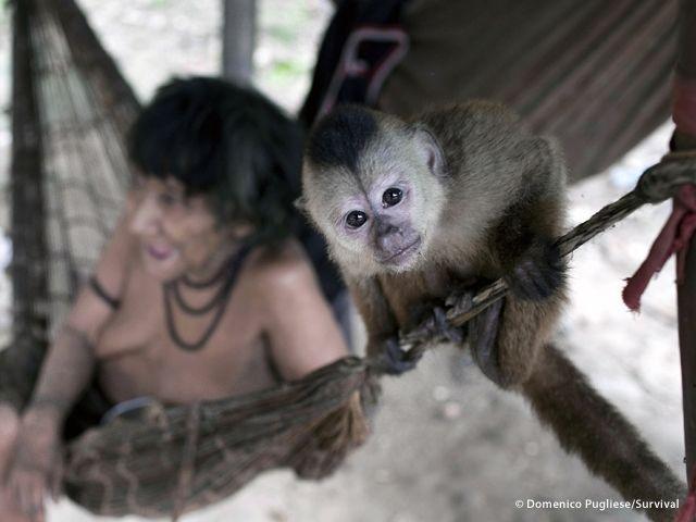 Le donne Awá si prendono cura di diverse specie di cuccioli di scimmia rimasti orfani, tra cui le scimmie urlatrici e quelle cappuccine, che allattano al seno (Joanna Eede ? www.survival.it)