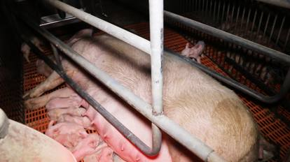 Fabbriche di maiali tra mutilazioni e sofferenze