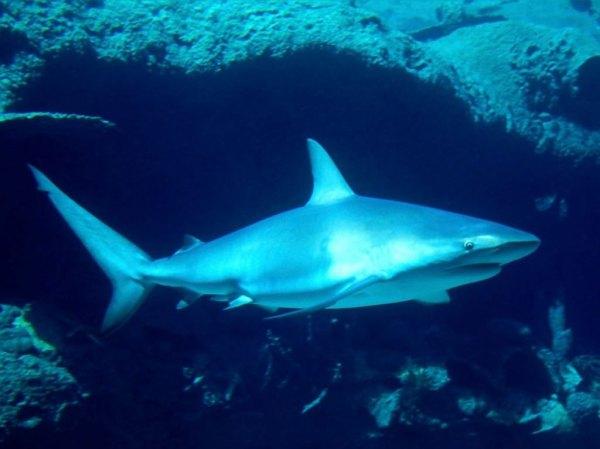 Shark Sharks Wallpaper 10310460 Fanpop