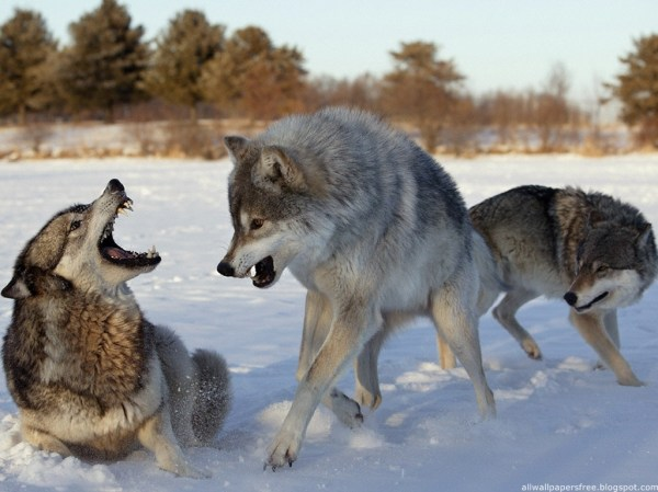 Wolves world - Wolves Wallpaper (12873211) - Fanpop