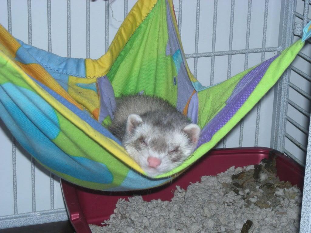 Cute Ferret Sleeping In Hammock