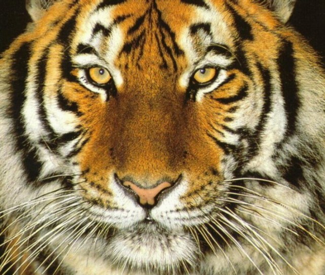 Tigers Images Tiger Wallpaper Hd Wallpaper And Background Photos