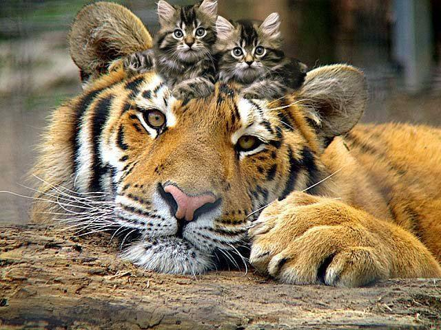 Tiger and Kittens - Animals Photo (2960144) - Fanpop