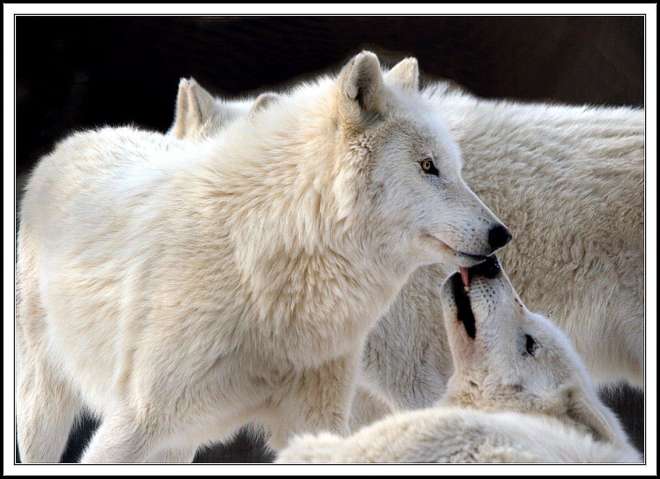 https://i1.wp.com/images2.fanpop.com/images/photos/7000000/wolf-wolves-7065445-1286-934.jpg