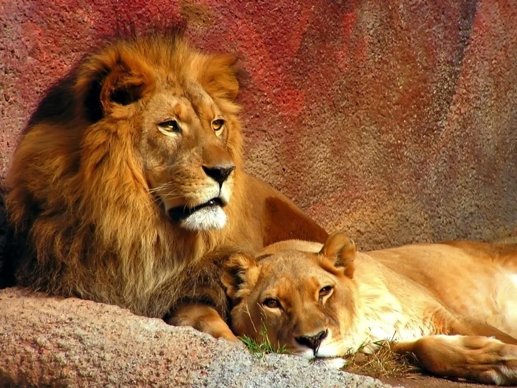 Mama Amp Papa Lion
