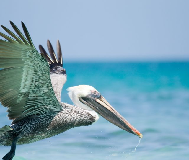 Fun Facts About Pelicans Mental Floss