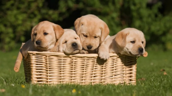 Australia Now Has a Free Puppy Subscription Service ...