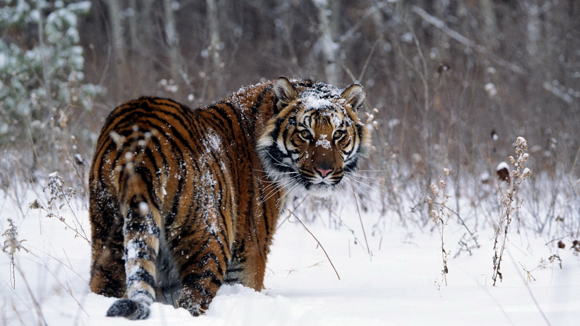 1606 Tiger Hd Wallpapers Background Images Wallpaper Abyss