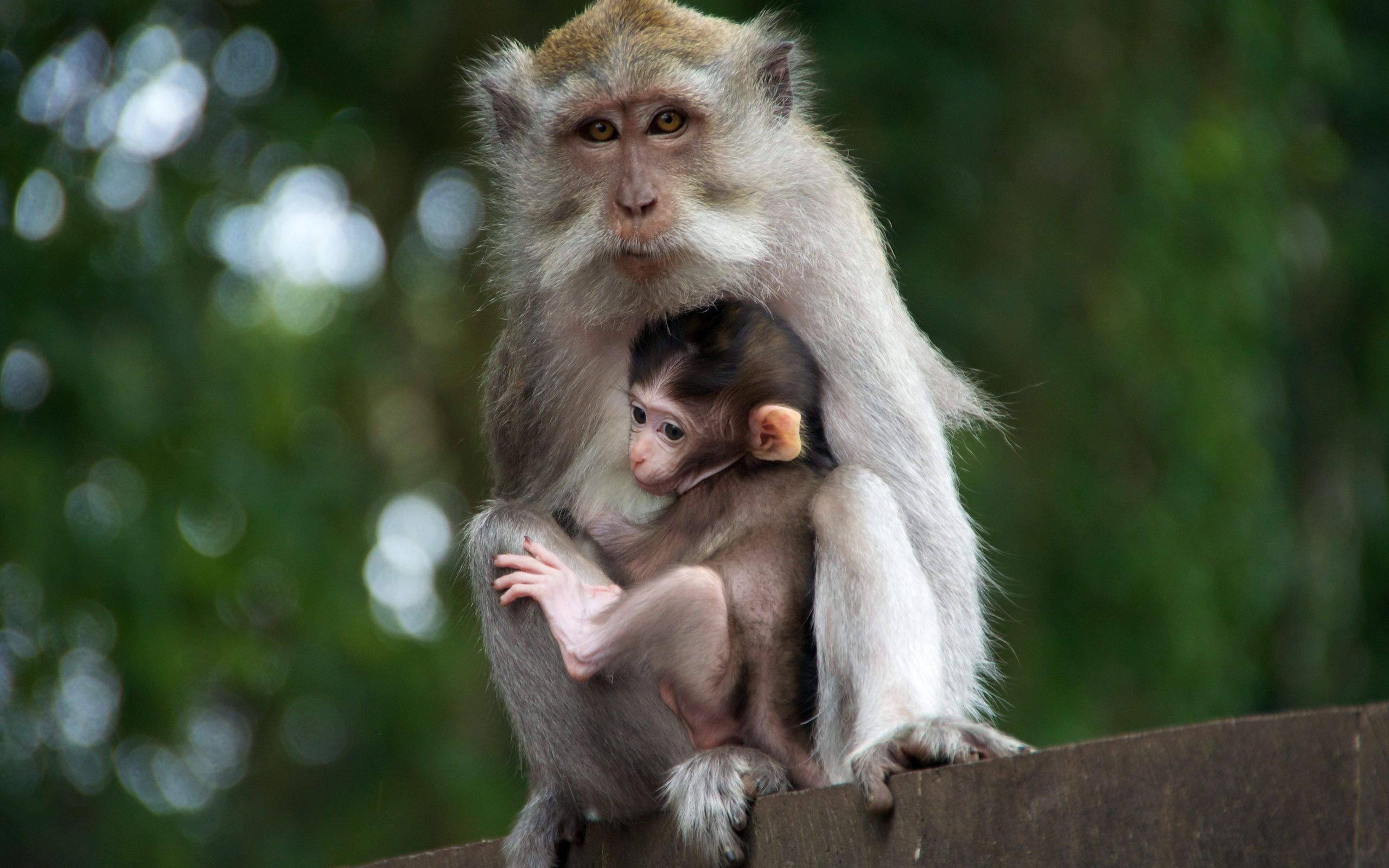 Mama Monkey And Her Baby Hd Wallpaper
