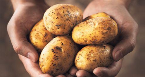 Institut za biološka istraživanja, domaći krompir, gen pirinča, GMO krompir