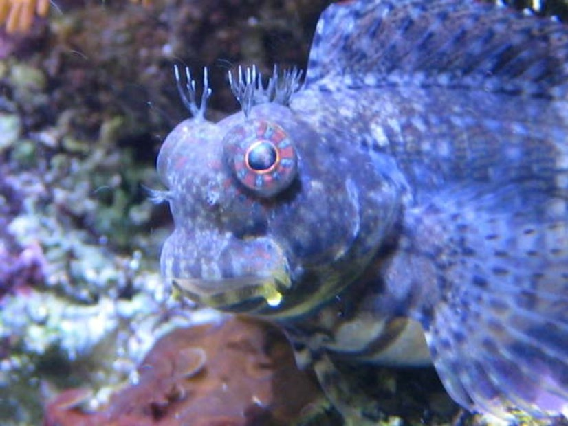 lawnmower-blenny-fish
