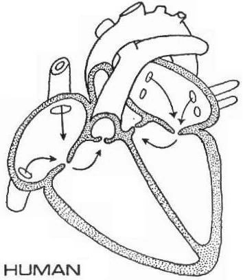 Label Heart Anatomy Diagram Printout - EnchantedLearning.com.