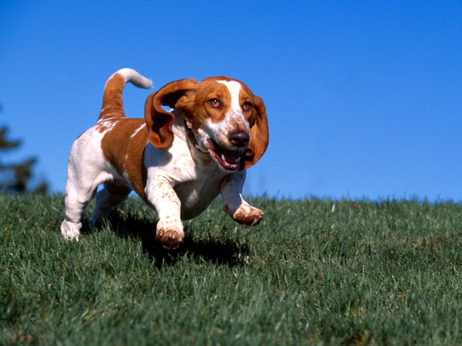 hound dogs images bassett hound hd wallpaper and background photos