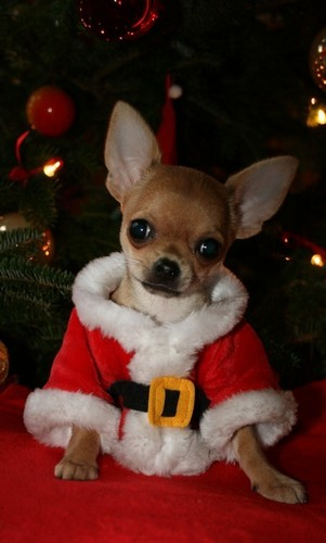 All Small Dogs Images Merry Christmas Wallpaper And