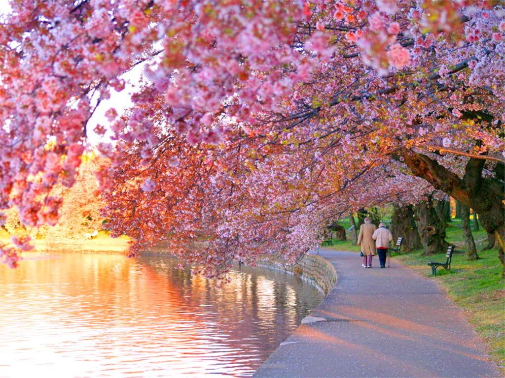 Cherry Blossom Wallpaper Vertical