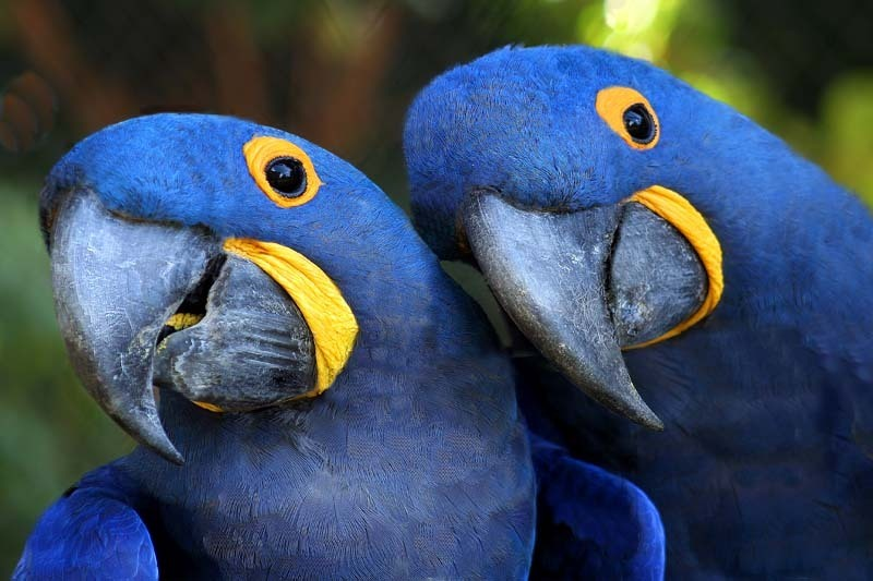Hyacinth Macaw – Brooklyn Red Girl