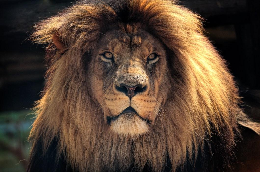 Lion Wallpaper 4k Iphone