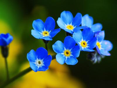 Blue Forget Me Not Bunga Foto 31563870 Fanpop