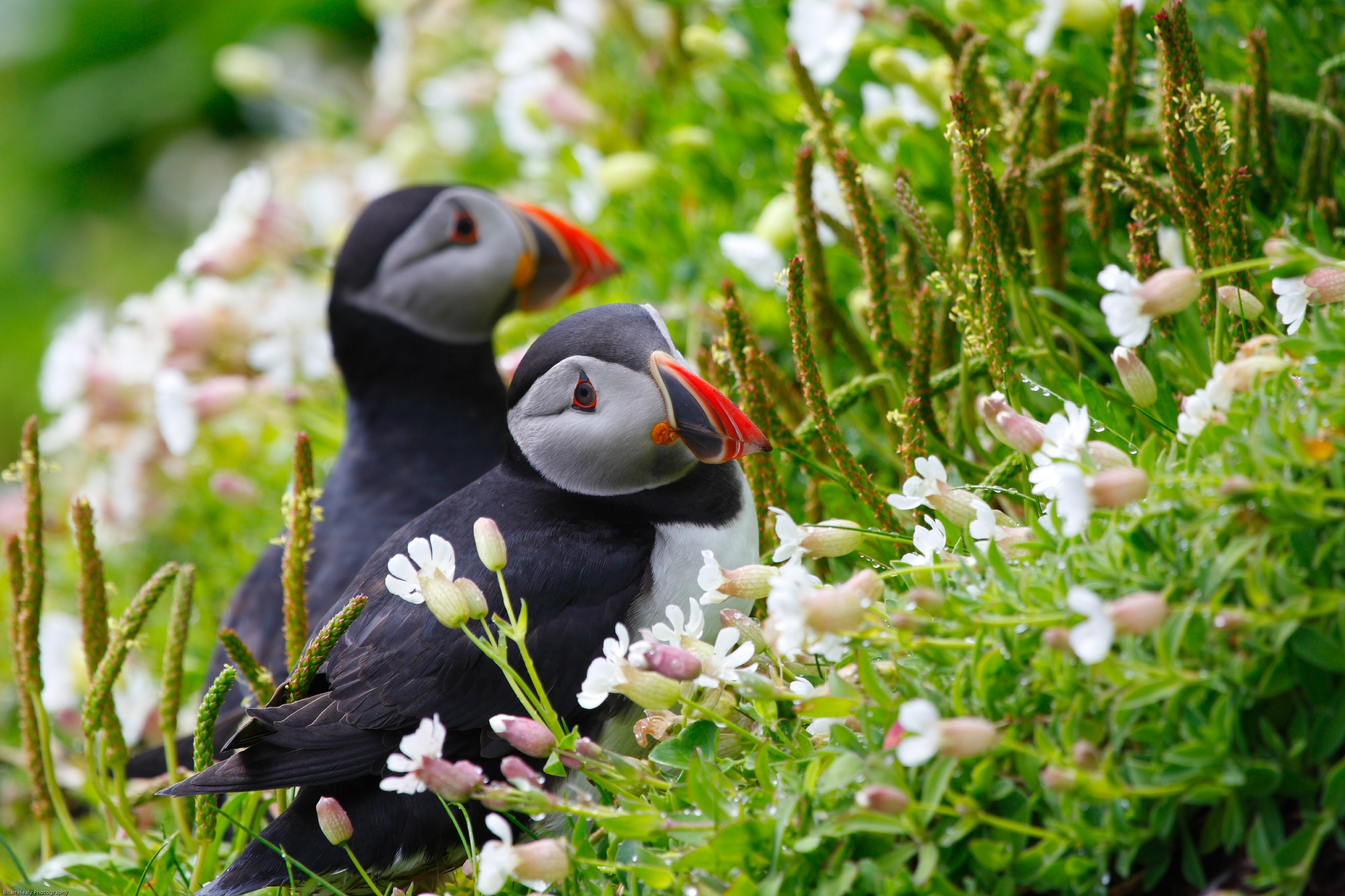 Puffin 4k Ultra HD Wallpaper Background Image