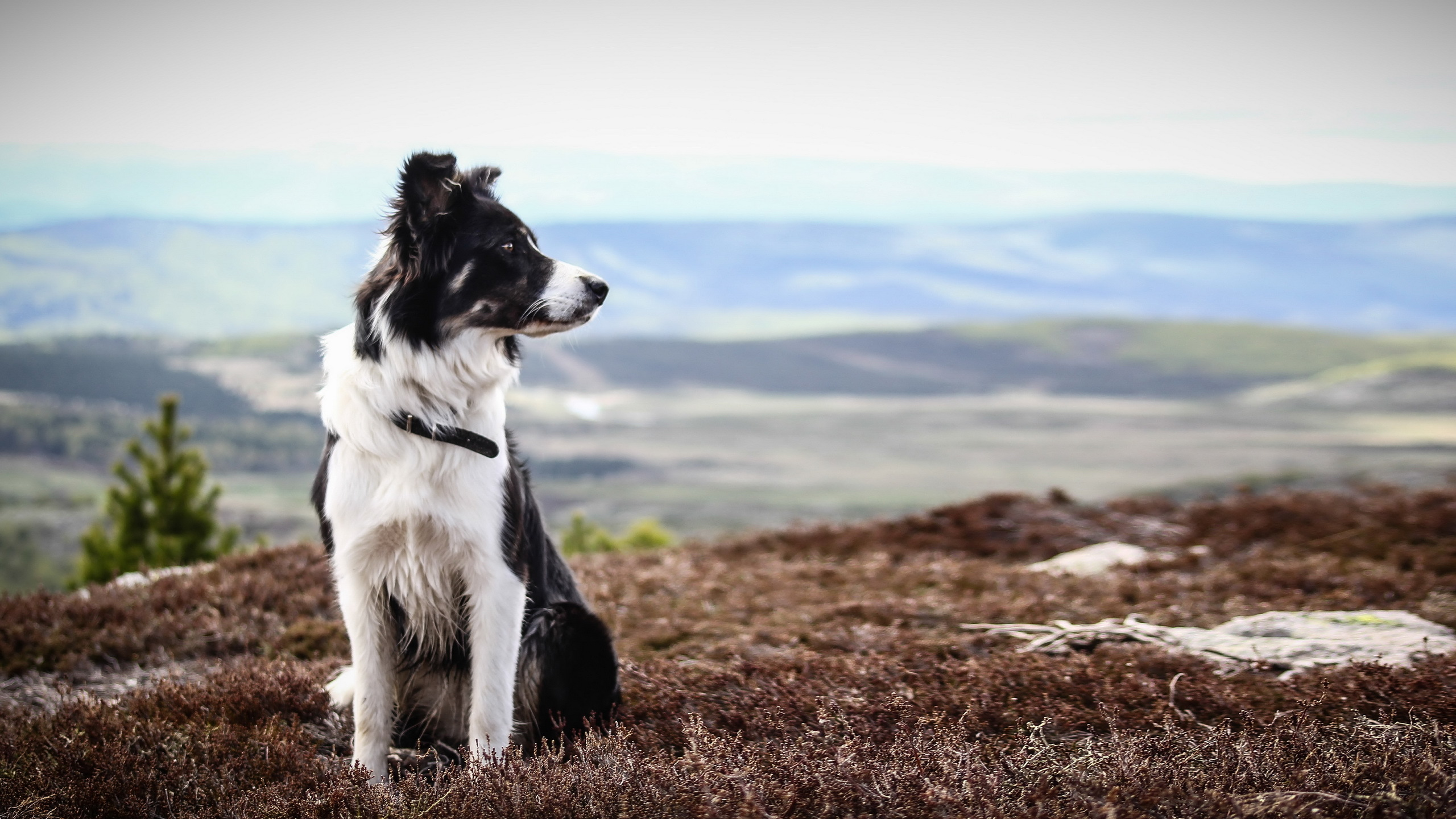 Border Collie Full HD Wallpaper And Background 2560x1440