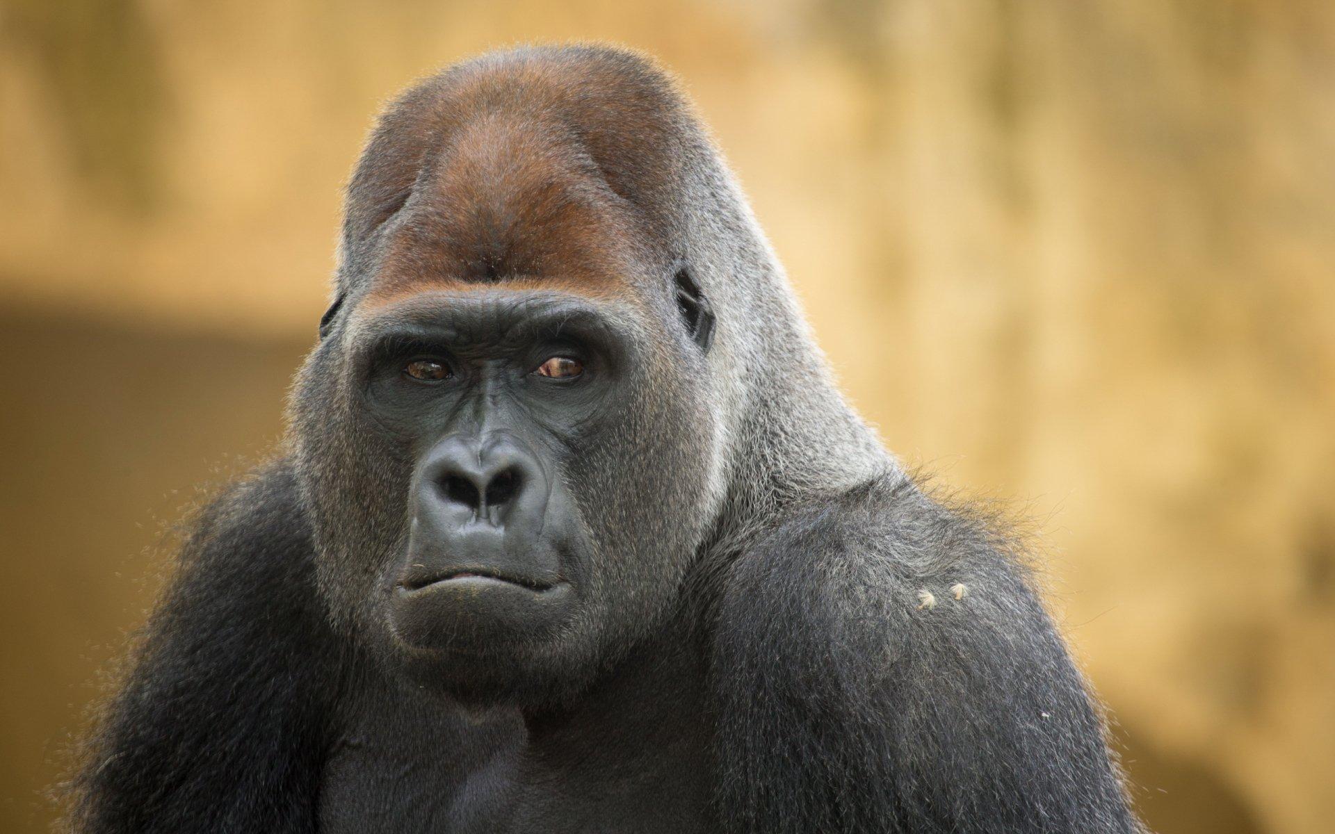 Male Silverback Gorilla Full HD Wallpaper And Background