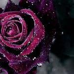 Purple Rose HD Wallpaper   Background Image   1920x1080   ID 713869     Wallpapers ID 713869
