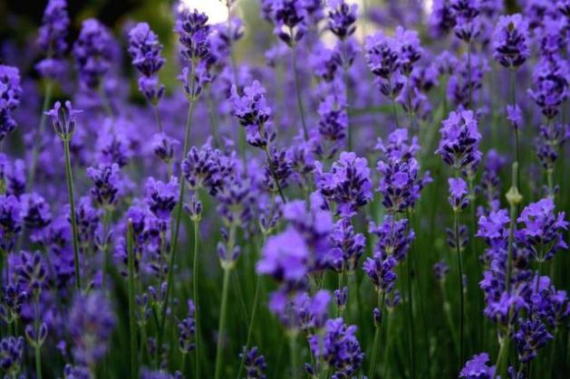 Flowers images Beautiful Lavender wallpaper and background photos     Flowers images Beautiful Lavender wallpaper and background photos