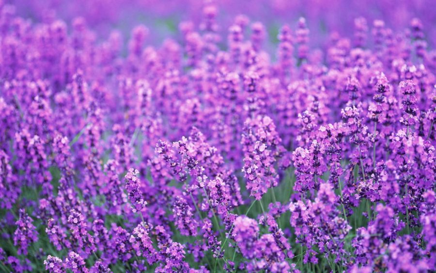 Flowers images Beautiful Lavender HD wallpaper and background photos     Flowers images Beautiful Lavender HD wallpaper and background photos
