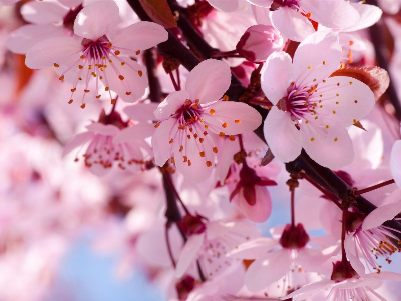 Flowers images Pink Cherry Blossom HD wallpaper and background     Flowers images Pink Cherry Blossom HD wallpaper and background photos