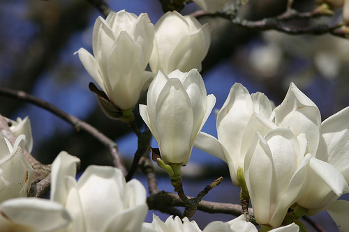 White Magnolia Wallpaper Colors Photo 34692326 Fanpop