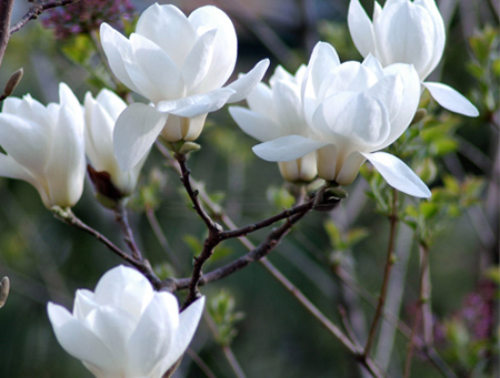 Beautiful White Magnolia White Photo 34732644 Fanpop