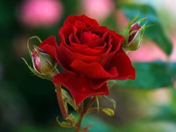 red roses are the best ! - Flowers Photo (34825641) - Fanpop