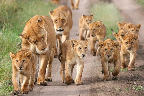 https://i1.wp.com/images6.fanpop.com/image/photos/37800000/Lion-pride-lions-37839616-500-333.jpg?w=1060