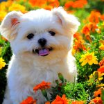 8 Shih Tzu Hd Wallpapers Background Images Wallpaper Abyss