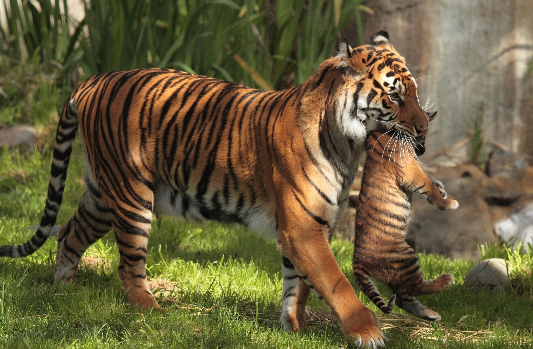 974 big cat hd wallpapers   background images - wallpaper abyss