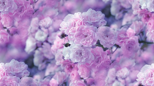 Pink Flowers HD Wallpaper | Background Image | 1920x1080 ...