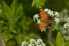 Butterfly, Arboretum Frelinhuysen