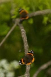 butterfly, butterflies, Arboretum Frelinhuysen, NJ
