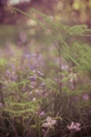 fern, bloom purple, Arboretum Frelinhuysen