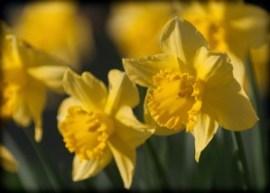 daffodils, Oakridge, bloom