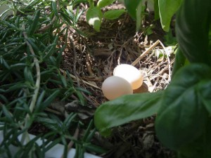 Dove nest w/2 eggs herbs
