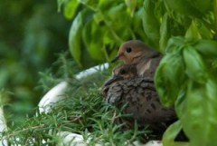 Doves, babies, nesting in herbs
