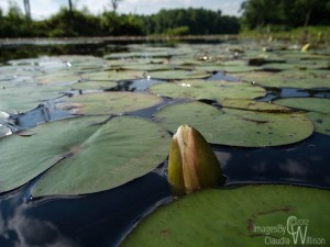 waterlily, Kittatinny Valley State Park
