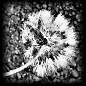 dandelion, b&w