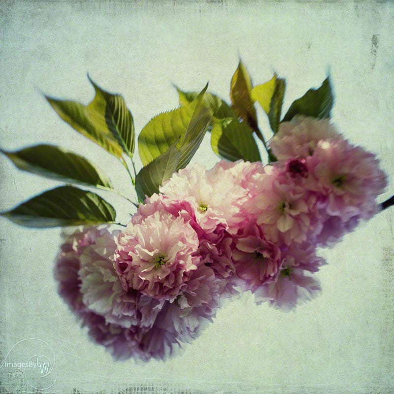 fine art, photography, cherry, blossoms, texture, bokey, lensbaby, pink
