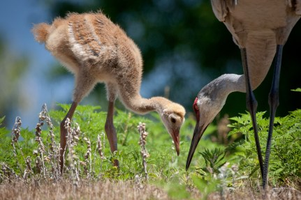 sandhill crane chick and mom lunching in the back yard--4/27/12