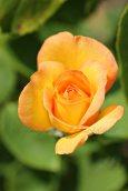 Gold Medal Rose web