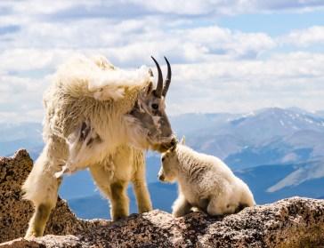 Mt Evans Pair Goats-8848