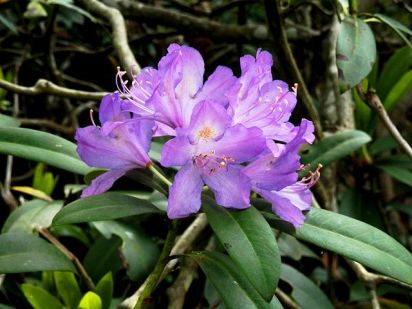 Странджанска зеленика / Rhododendron ponticum Photo credit: ABesheva